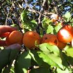 Modèle de courrier de réclamation suite à la cueillette de fruits