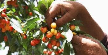Exemple de lettre de réclamation suite à la cueillette de fruits